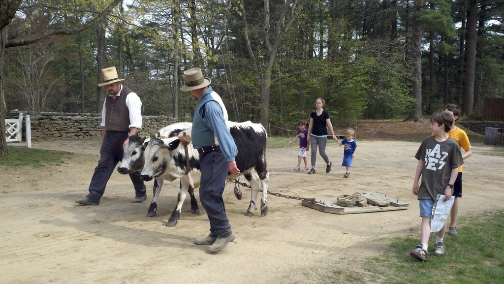 walking oxen for exercise