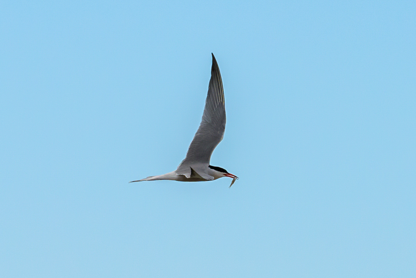 Tern, banking, with a meal in its mouth