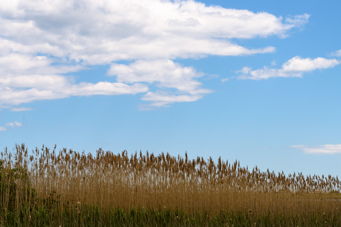 Tall marsh grasses with clouds